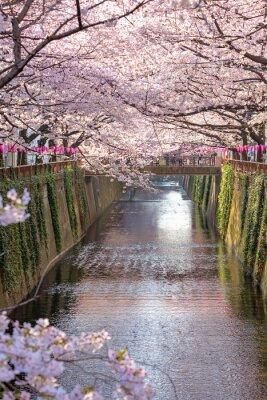 Картина Вишневый цвет подкладке Мэгуро канал в Токио, Япония.