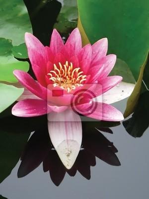 крупным планом цветок лотоса