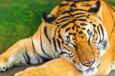 Картина Крупным планом большой тигра спать в открытом воздухе, Таиланде, Азии.