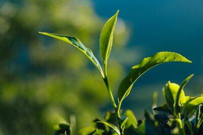 Картина Крупным планом зеленый свежий чай листья на плантации.