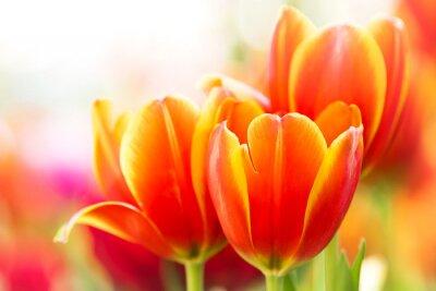 Картина Крупным планом оранжевый цветок тюльпана в природе
