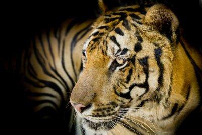 Картина Close up tiger
