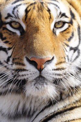 Картина Крупным планом портрет выстрел бенгальского тигра