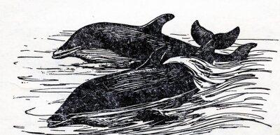 Картина Афалина (Tursiops truncatus)