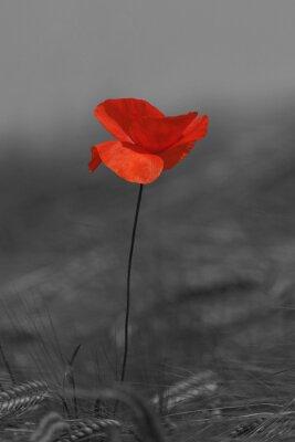 Картина Coquelicot красное и черное
