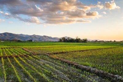 Картина Кукуруза Farm