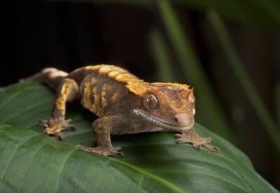 Картина Хохлатая Gecko Боковой профиль