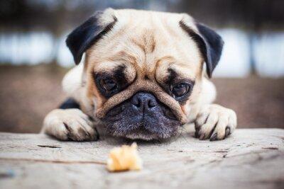 Картина Симпатичные мопс щенок