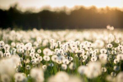 Картина одуванчик поле на закате