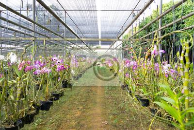 Dendrobium орхидеи фермы