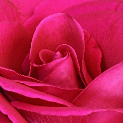 Картина Détail сГипе розы