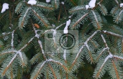 Деталь сосны ветви дерева, покрытые снегом / мороз в холодных тонах