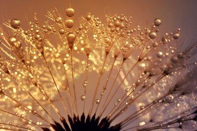 Картина Dewy dandelion at sunrise close up