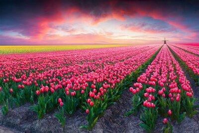 Картина Драматическая сцена весной на ферме тюльпан
