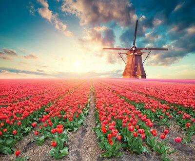 Картина Драматическая сцена весны на ферме тюльпанов. Красочный закат в Нидерландах, Европе.