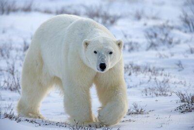 Картина Полярный медведь
