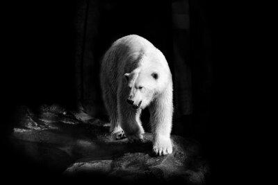 Картина Eisbär в Schwarzweiß