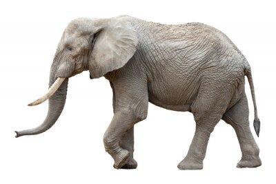 Картина Слон в передней части на белом фоне