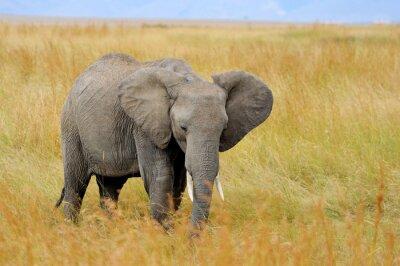 Картина Слон в Национальном парке Кении