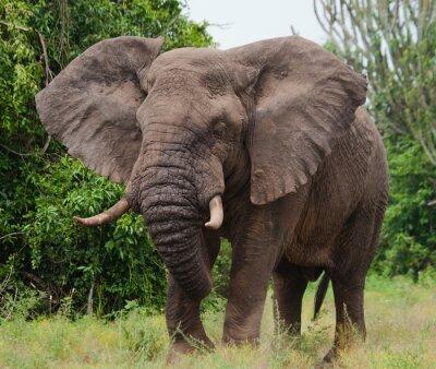 Картина Слон в саванне. Стрельба из воздушного шара. Африка. Кения. Танзания. Серенгети. Масаи Мара. Отличной иллюстрацией.