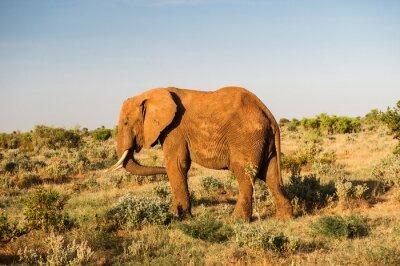 Картина Слон в Восточный Цаво, Кения