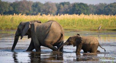 Картина Слон с ребенком через реку Zambezi.Zambia. Опустить Национальный парк Замбези. Река Замбези. Отличной иллюстрацией.