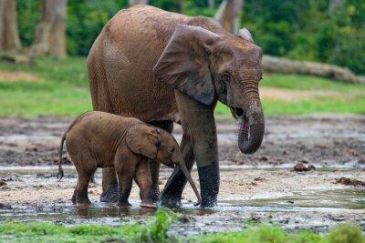 Картина Женский слон с ребенком. Центрально-Африканская Республика. Республика Конго. Дзанга-Сангха Специальный резервный. Отличной иллюстрацией.
