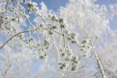 Картина Еловая ветка дерева в зимнем лесу