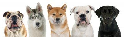 Картина пять породистых собак