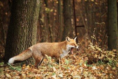 Картина Фокс на осенний лес