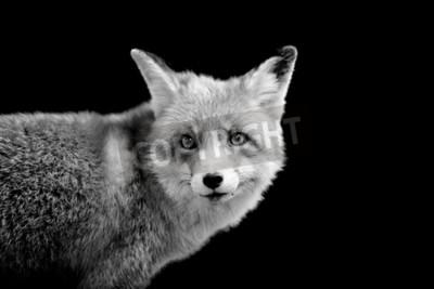 Картина Фокс на темном фоне. Черно-белое изображение