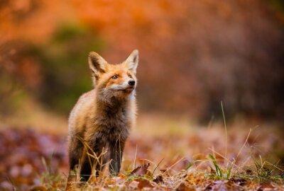 Картина Fox (Vulpes Vulpes) в Европе леса