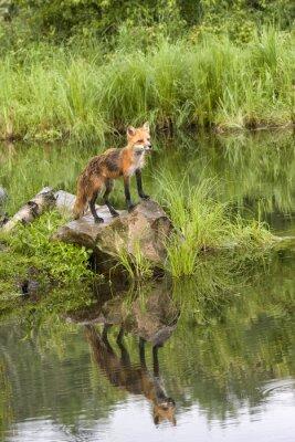 Картина Фокс с отражением в тихом озере