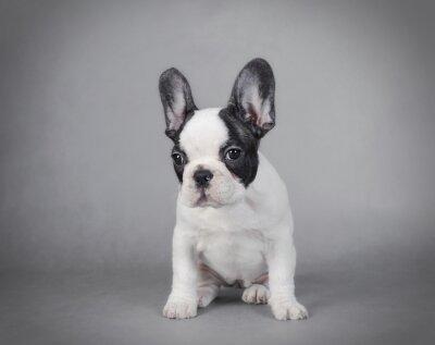 Картина French Bulldog puppy