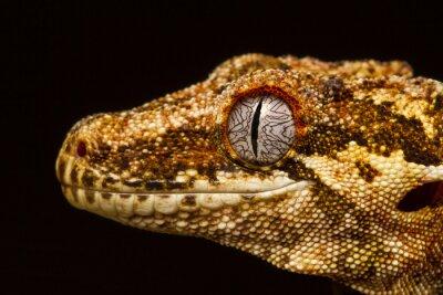 Картина Горгулья Gecko (новокаледонские гекконы auriculatus) в профиле