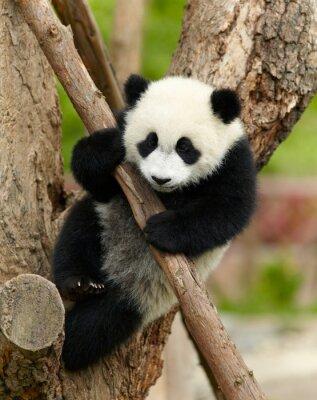 Картина Гигантская панда ребенком на дереве