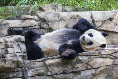 Картина Giant panda bear napping at the National Zoo in Washington, DC.