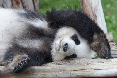 Картина Гигантская панда медведь спальные