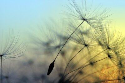 Картина Золотой закат и одуванчика, медитативная дзен фон