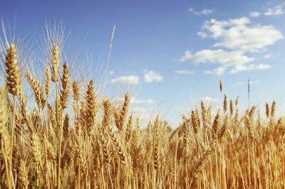 Картина Золотое поле пшеницы