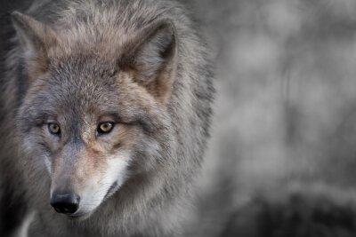 Картина Grauer Wolf Портрет 4