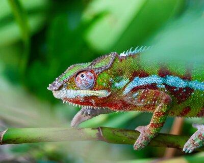 Картина Зеленый хамелеон