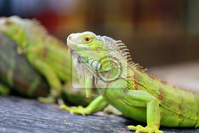 Картина зеленая ящерица игуана