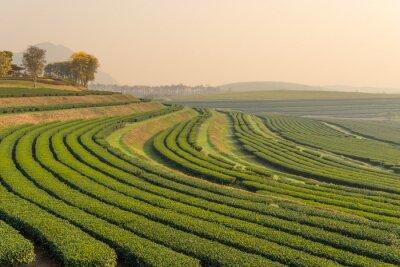 Картина Зеленый чай шаблон фермы утром