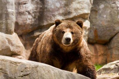 Картина Медведь гризли