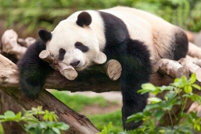 Картина Гроссер Panda
