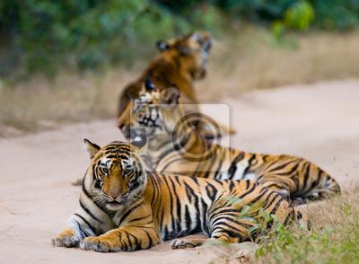 Картина Группа диких тигров на дороге. Индия. Национальный парк Бандхавгарх. Мадхья-Прадеш. Отличной иллюстрацией.