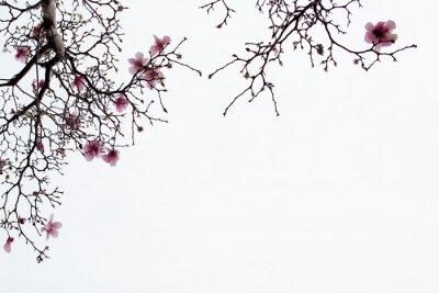 Картина Японские магнолии Цветет на белом фоне