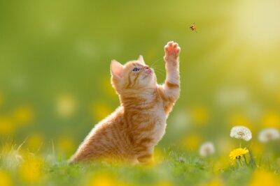 Картина Junge Katze/Kätzchen jagd einen Marienkäfer