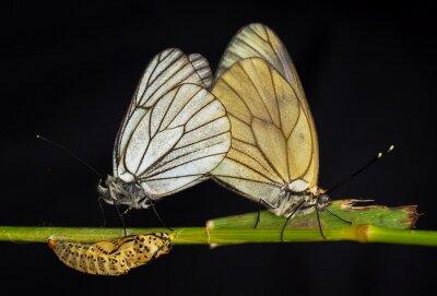 Картина Kelebekler